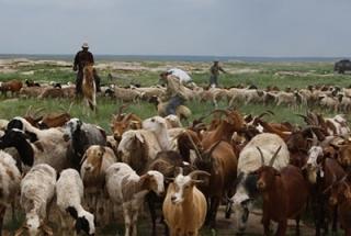 Khangai Herds